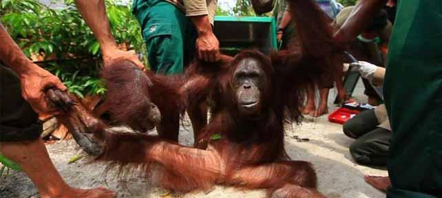 Orangutan peserta rehabilitasi yang akan dilepasliarkan oleh Yayasan Borneo Orangutan Survival (BOS) Nyaru Menteng, Kalimantan Tengah.