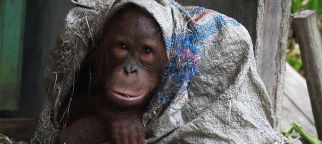 Orangutan ini Dirantai dan ditempatkan Seadanya