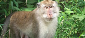 Macaca fascicularis (Monyet Ekor Panjang)