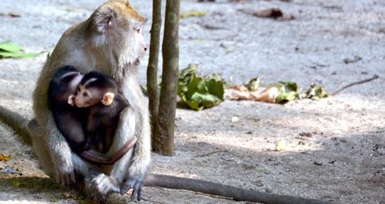 Bayi kembar Macaca fascicularis