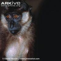 Macaca pagensis