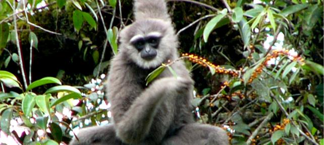 Javan Gibbon (Hylobates moloch)