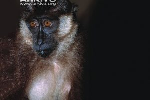Beruk_Mentawai_Macaca_pagensis_sitting