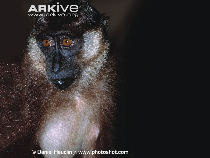 Macaca pagensis (Mentawai Island Macaque)