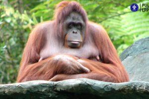 Pongo pygmaeus_Orang Utan